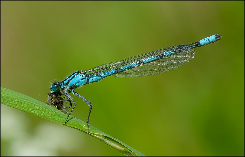 kleinlibelle frisst noch kleinere fliege