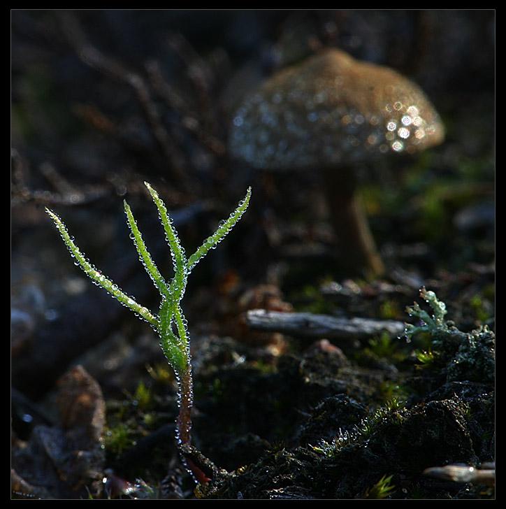Kleinpflanze im Morgentau