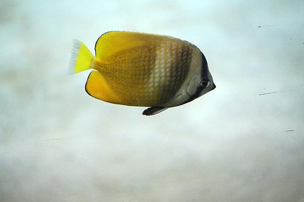 Klein's Falterfisch