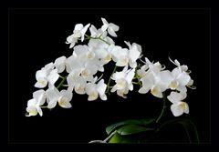 kleinteilige weiße Orchidee