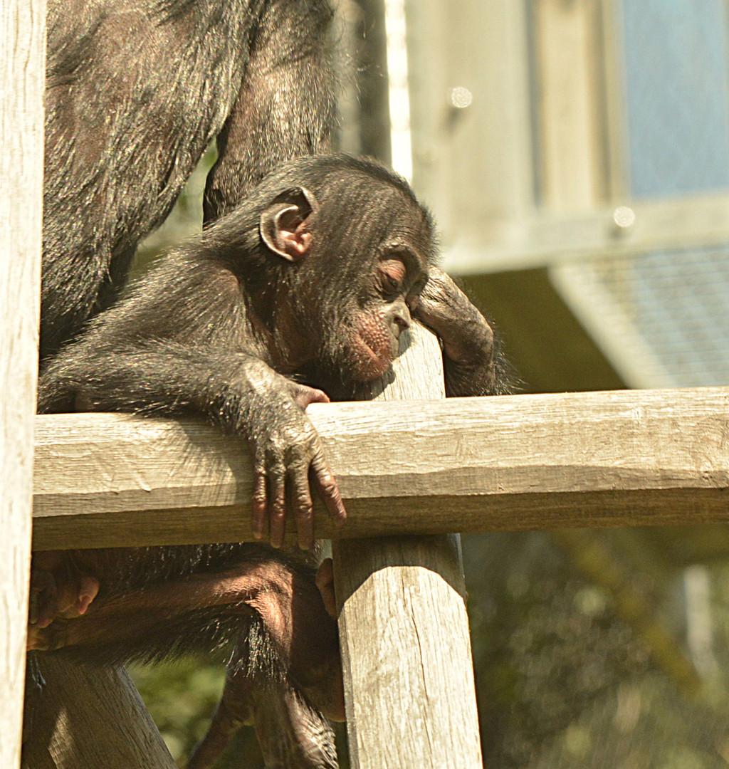 Klettern ist gar nicht so leicht! Auch für einen kleinen Bonobo nicht!