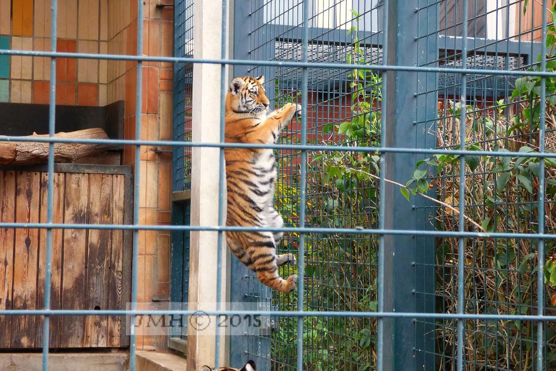 Kletternder Tiger
