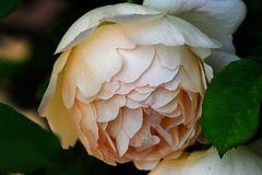 Kletterrose mit gefüllter Blüte
