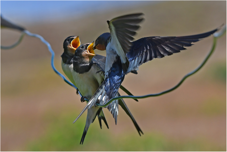 "klingeldraht"" foto & bild   natur, tiere, vögel bilder auf fotocommunity"