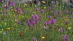 Knabenkräuter und Bärtige Glockenblumen aus den Westalpen...