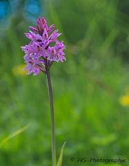 Knabenkraut (Orchideenart)