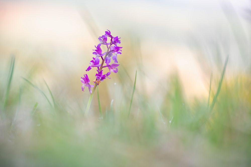 Knabenkraut - Orchis mascula