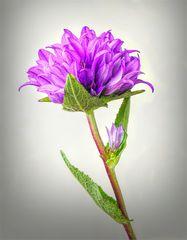 Knäuelglockenblume