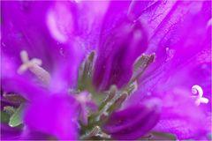 Knäulglockenblume