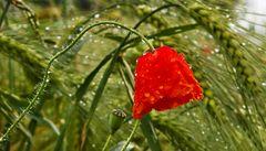 Knallrote Mohnblüte widersteht dem Regen im Getreidefeld!