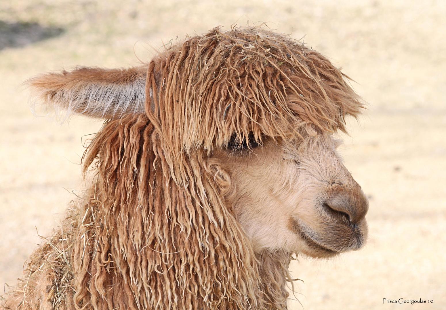 Knie's Kinderzoo - junges Alpaka