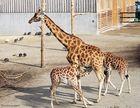 Knie's Kinderzoo - Rotschild-Giraffen