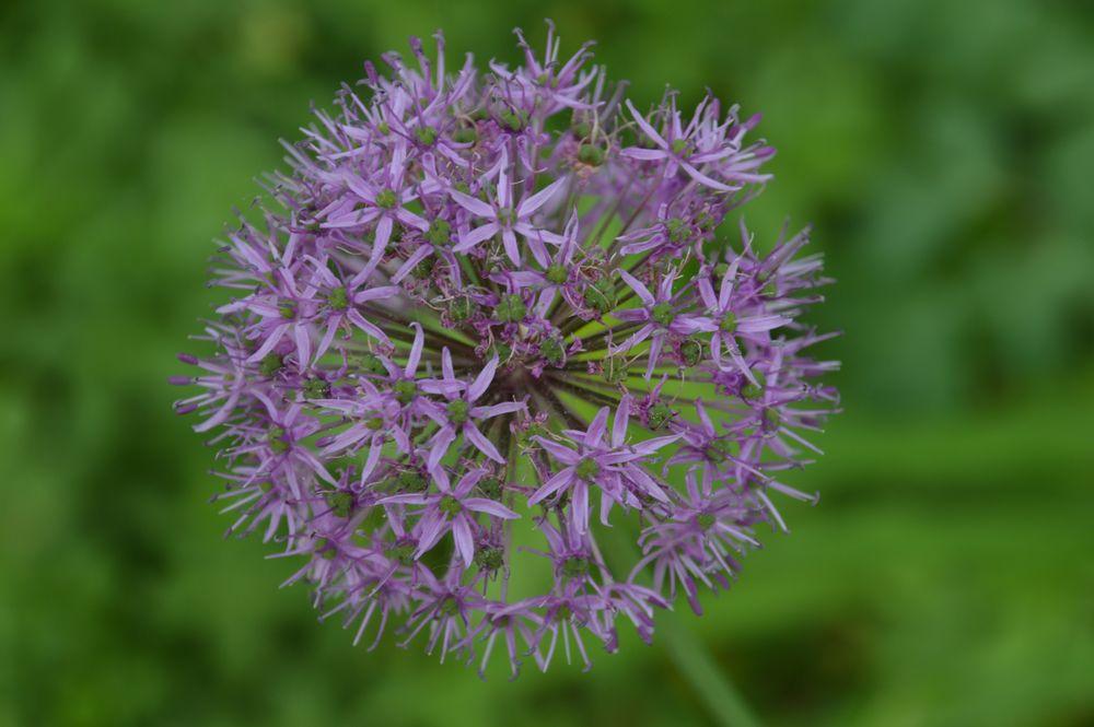 knoblauch kugel violett foto bild pflanzen pilze flechten bl ten kleinpflanzen. Black Bedroom Furniture Sets. Home Design Ideas