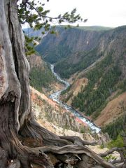 Knochiger Baum am Grand Canyon