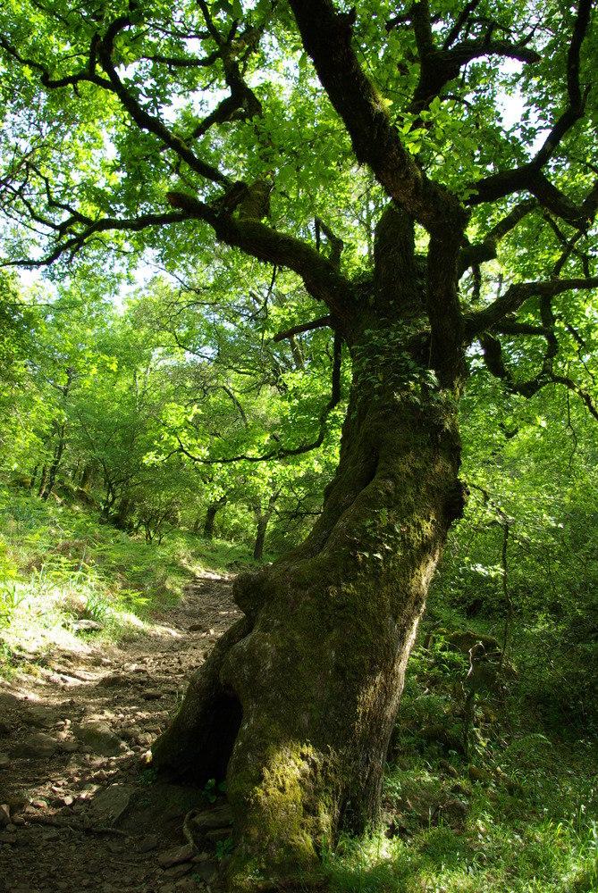 knorrige Korkeichenwälder