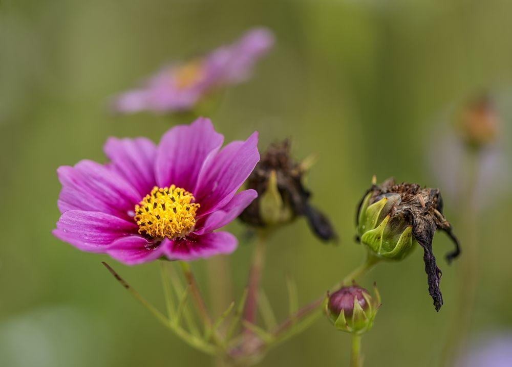 Knospe... Blüte.... verwelkt
