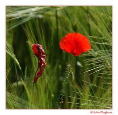 Knospe... Blüte... verwelkt
