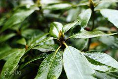 Knospe im Regen