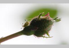 Knospe mit Blattlaus