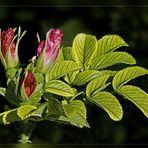 Knospen der Buschrose