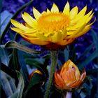 Knospen und Blüte