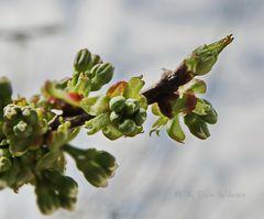 - Knospen vom Kirschbaum -