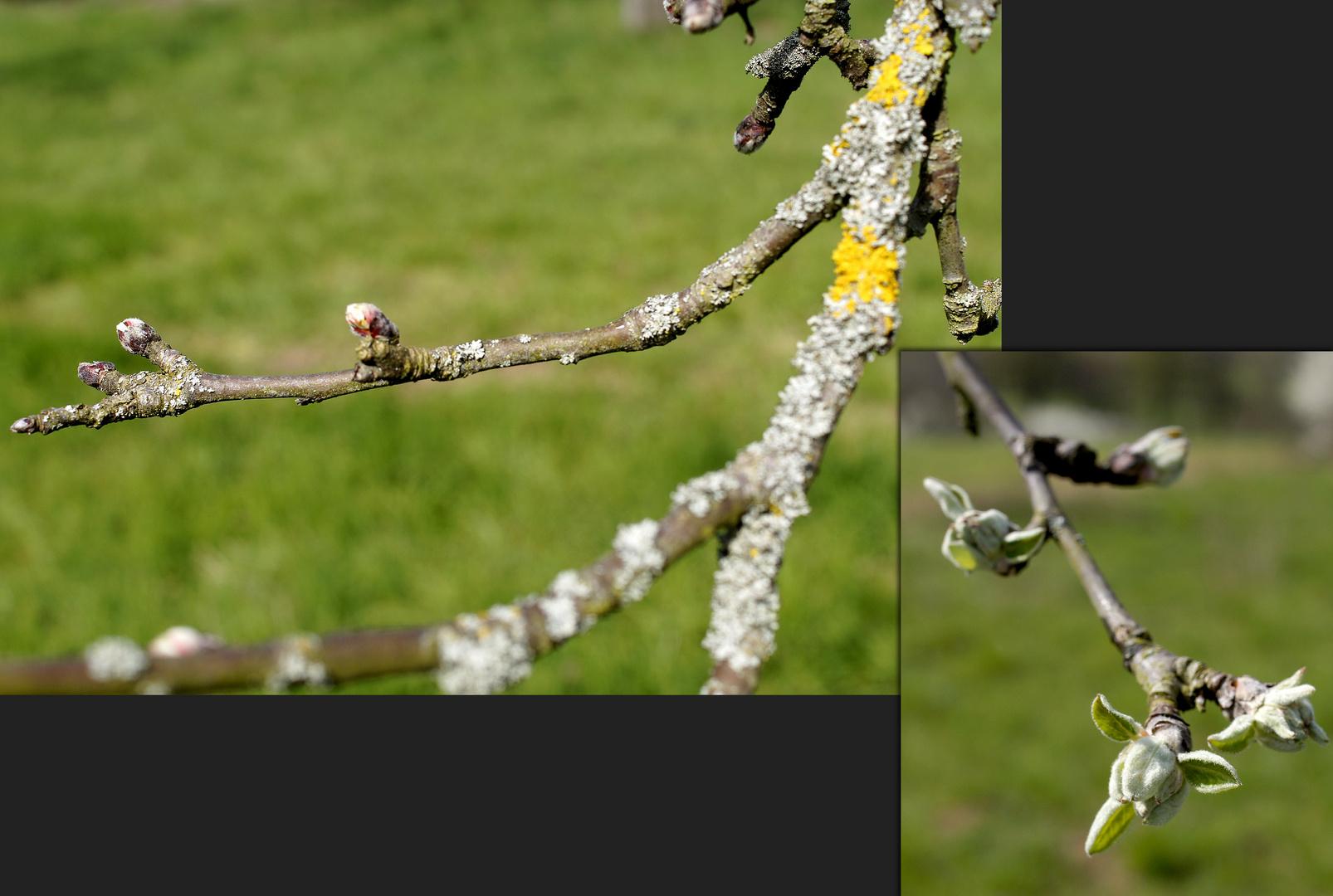 Knospende Apfelbäume, alt und jung