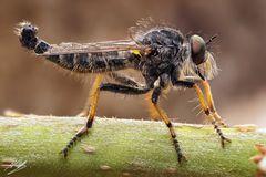Knoten-Strauchdieb Männchen (Neoitamus cothurnatus)