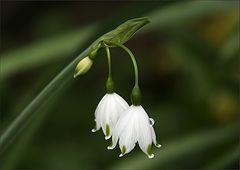 Knotenblume  spätblühend