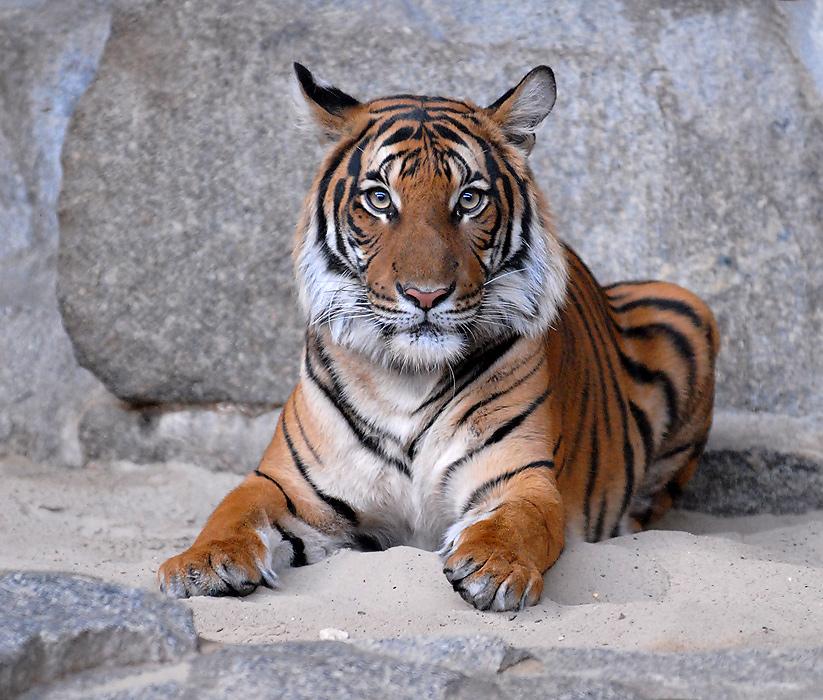 Knuddel-Tiger ...