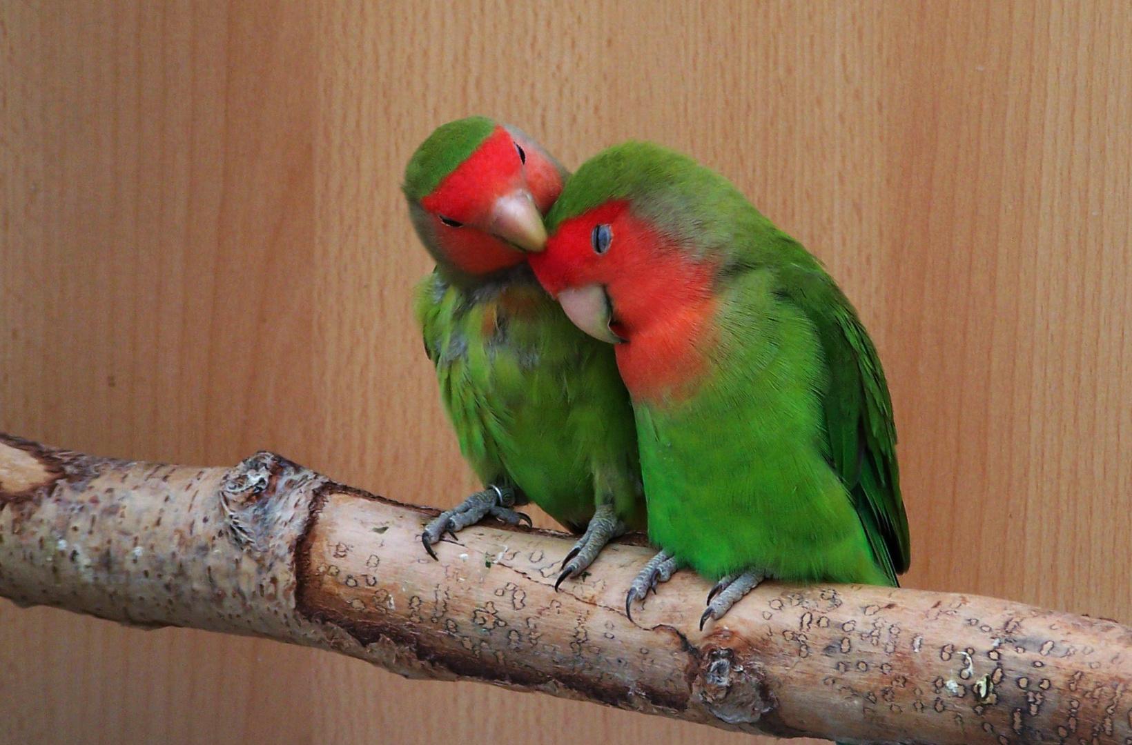 Liebesvögel