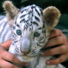 Knuffel Tiger