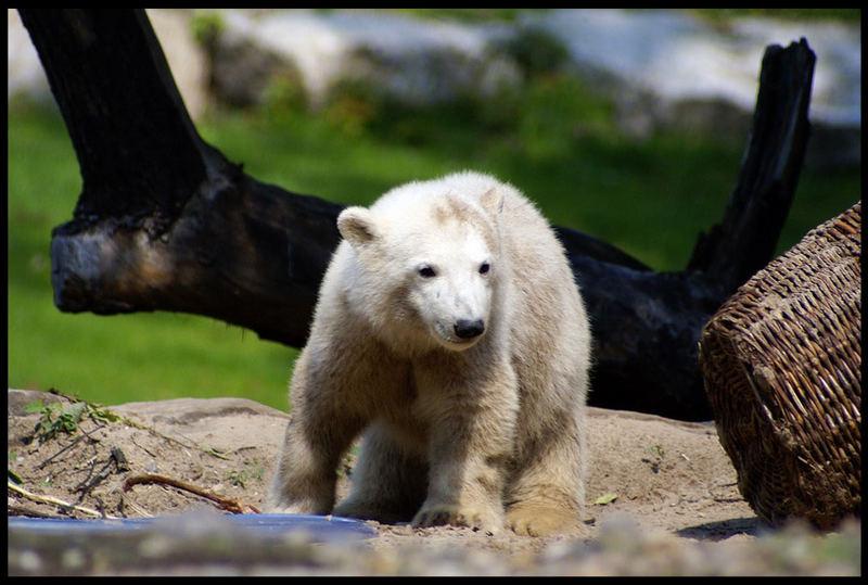 Knut #1