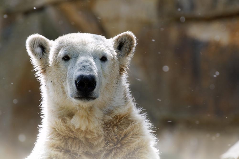Knut jetzt Groß