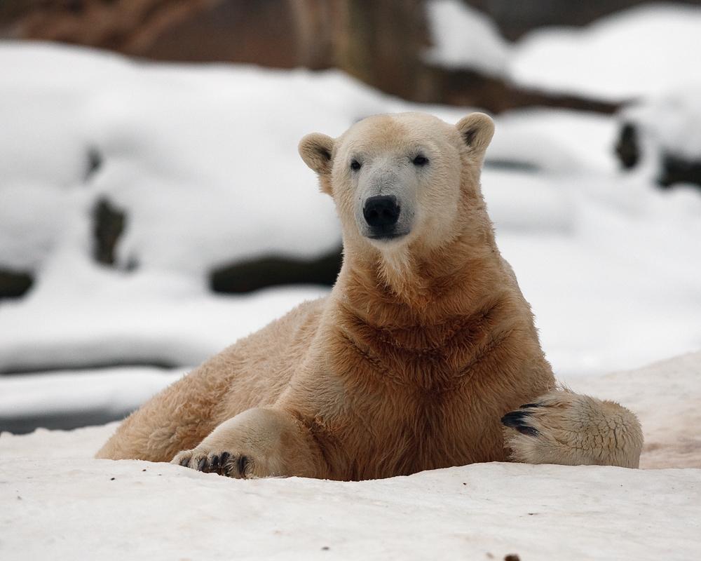 Knut mag den Winter wohl sehr gern ...