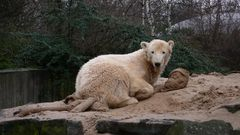Knut nach einem Jahr-