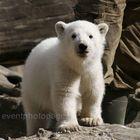 Knut - Superstar