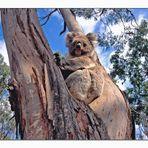 Koala auf einem Eukalyptusbaum