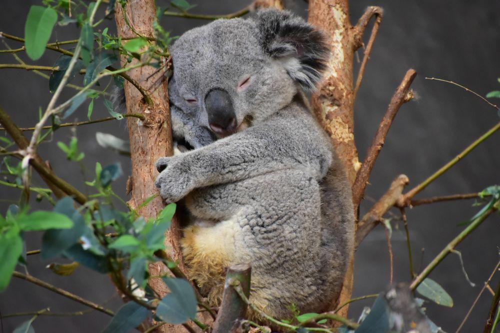 Koala Bärchen