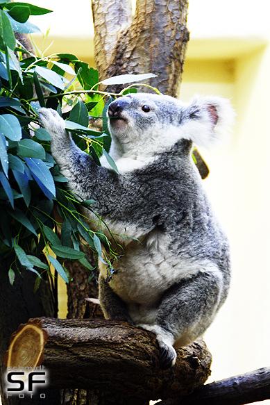 Koala Essen