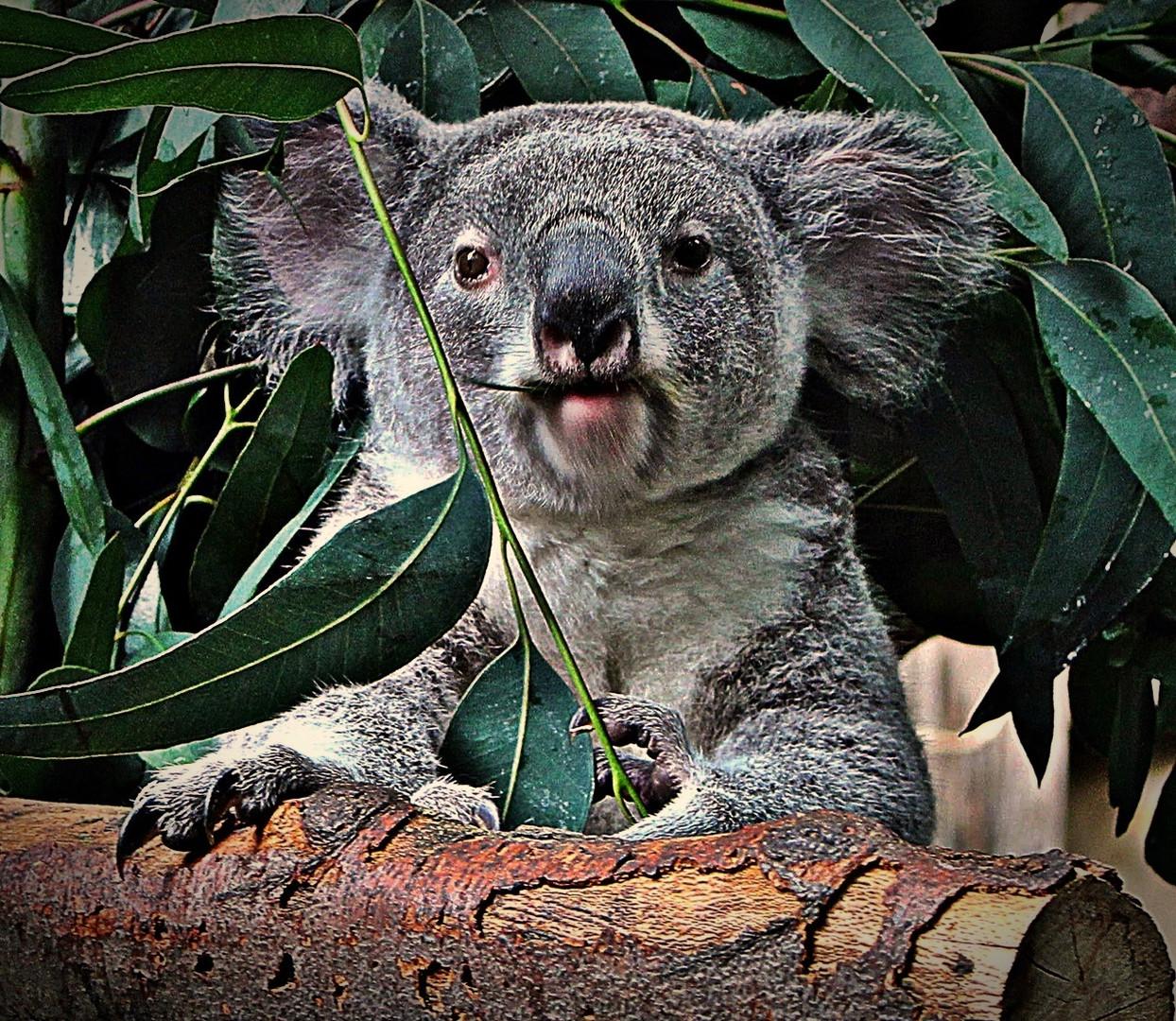 """"""" Koala """""""