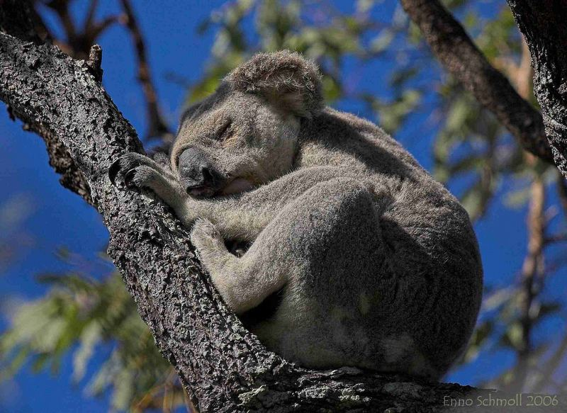 Koala-Dreamtime