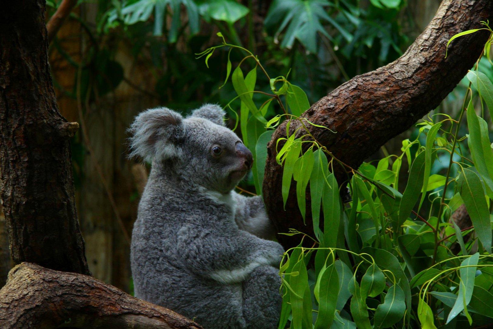 Koala im Duisburger Zoo