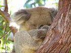 Koala im Nationalpark
