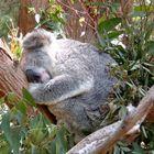 Koala im Vollrausch.......