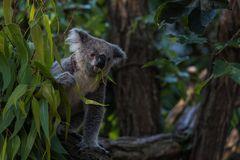 Koala in Aktion