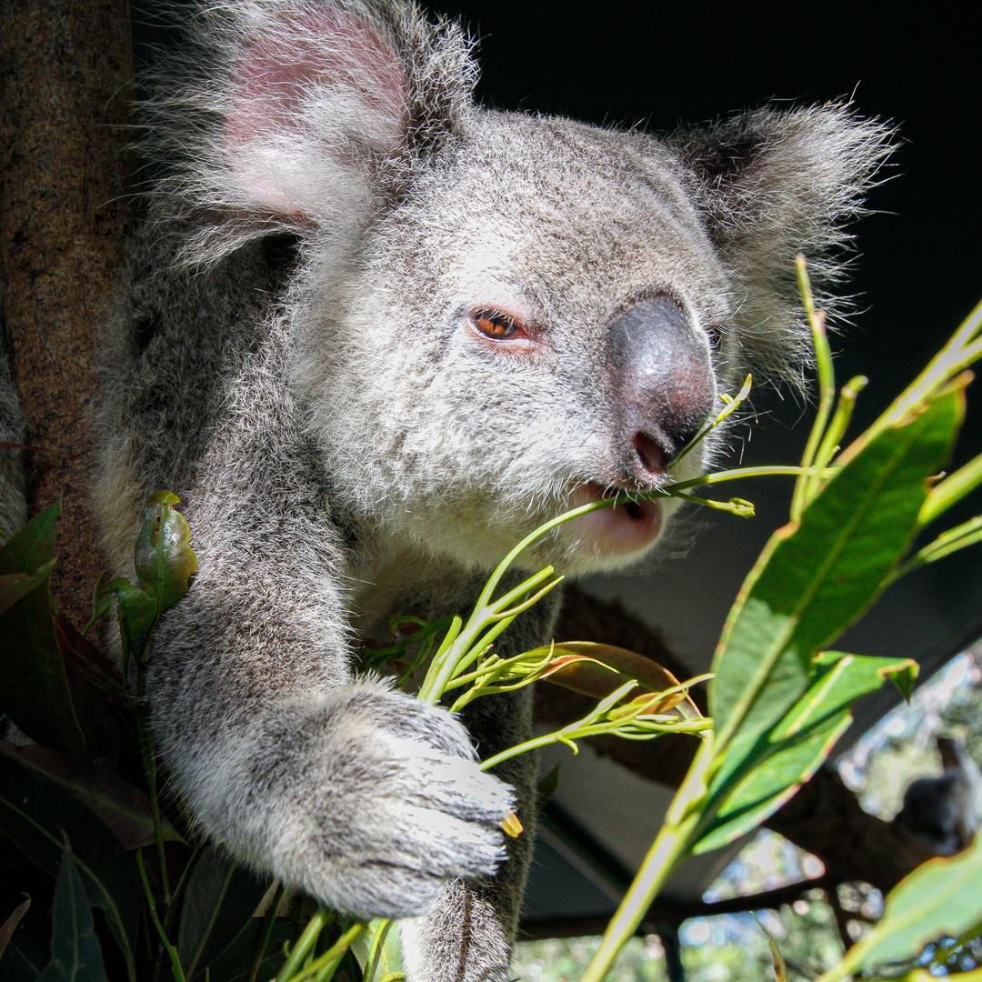 Koala ist hungrig