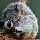 Koala ist müde