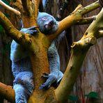 Koala mit masochistischer Tendenz zu Würgespielen :-)