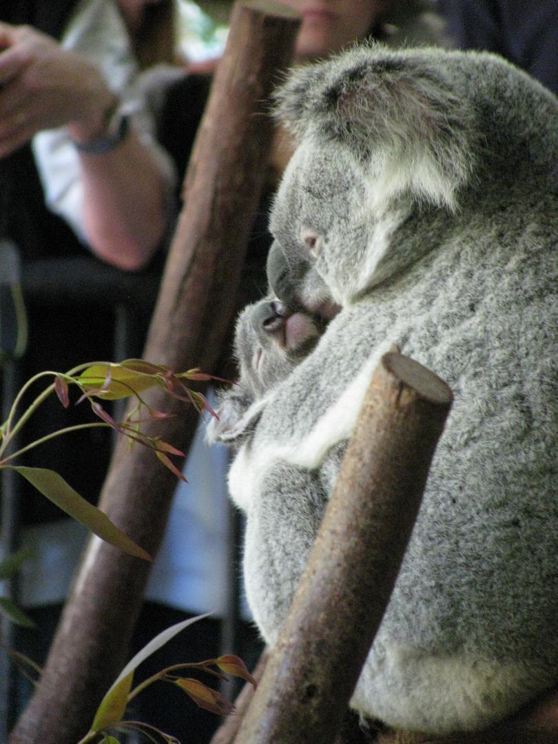 Koala Mutter + Kind